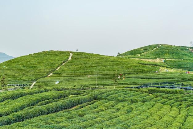 Paysage de plantation verte