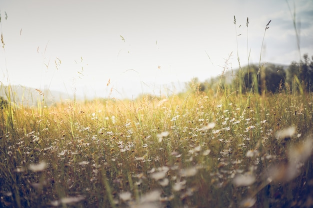 Paysage de prairie d'été. soleil, arrière-plan flou de fleurs sauvages, bokeh, mise au point sélective, lumière du soleil chaude, mise au point douce. baner nature abstraite
