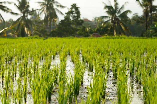 Paysage de rizière à bali, indonésie