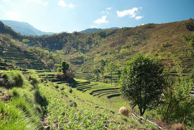 Paysage de rizières vertes dans les collines du népal.