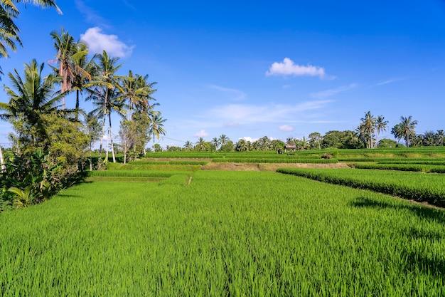 Paysage avec rizières vertes et palmiers à journée ensoleillée dans l'île de bali, indonésie