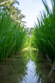 Paysage de rizières vertes