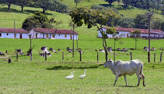 Paysage rural avec bovins nelore, arbres et maisons