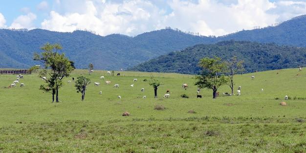 Paysage rural avec du bétail sur les pâturages, les arbres, les collines et le ciel bleu. état de sao paulo, brésil.