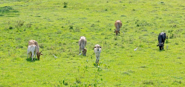Paysage rural avec pâturage du bétail. état de sao paulo, brésil.