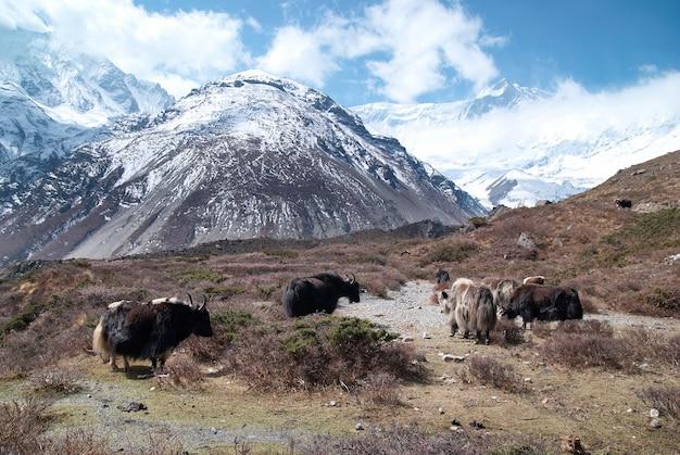 Paysage tibétain avec des yacks et des montagnes couvertes de neige.