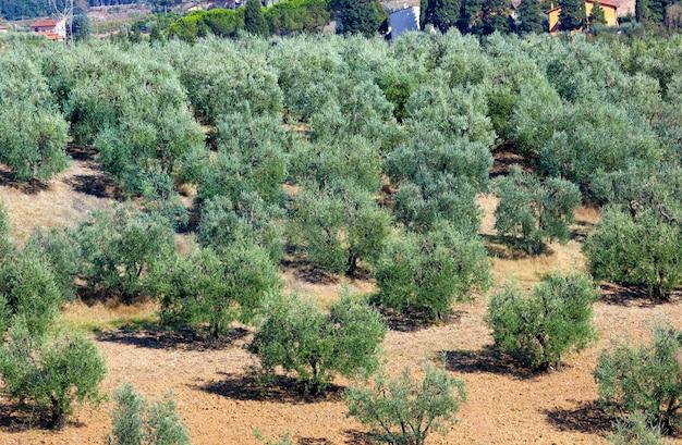 Paysage toscan avec des oliviers.