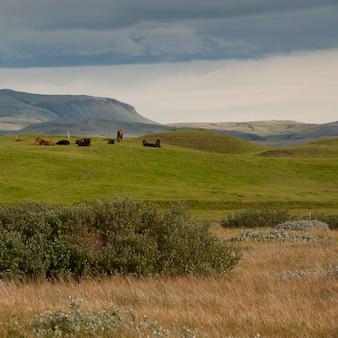 Paysage, troupeau de chevaux iceleandic reposant dans des pâturages, des montagnes