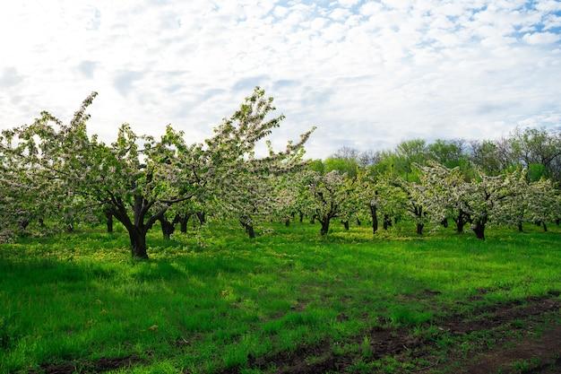 Paysage. verger de cerisiers au printemps