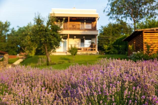Paysage violet avec des fleurs de lavande dans une ferme, petit champ de lavande