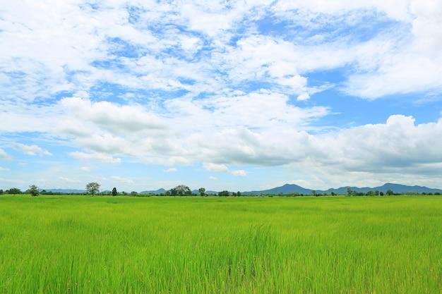 Paysage vue jeunes rizières vertes avec ciel et montagnes en arrière-plan.