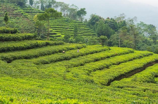 Paysages naturels verts_ plantation de thé au sri lanka
