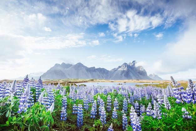 Les paysages pittoresques des forêts et des montagnes d'islande. lupin bleu sauvage qui fleurit en été