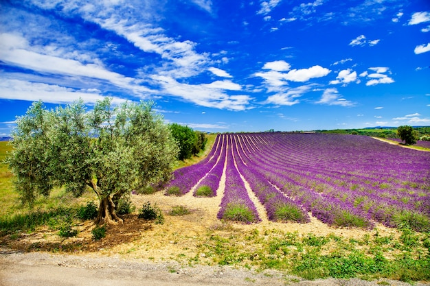 Paysages pittoresques de la provence avec de la lavande en fleurs.