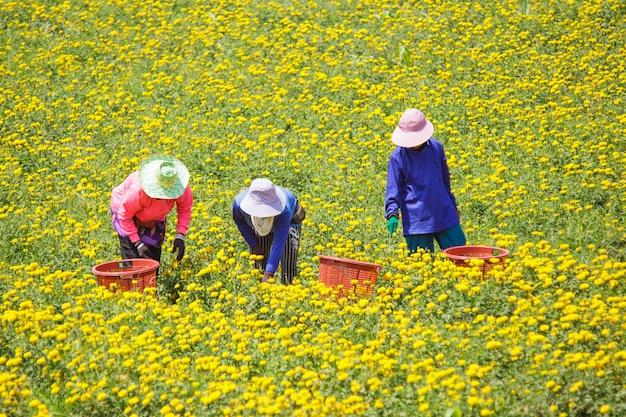 Paysan gardant la fleur de souci, lopburi thaïlande