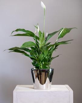 Peace lily, spathiphyllum en pot brillant