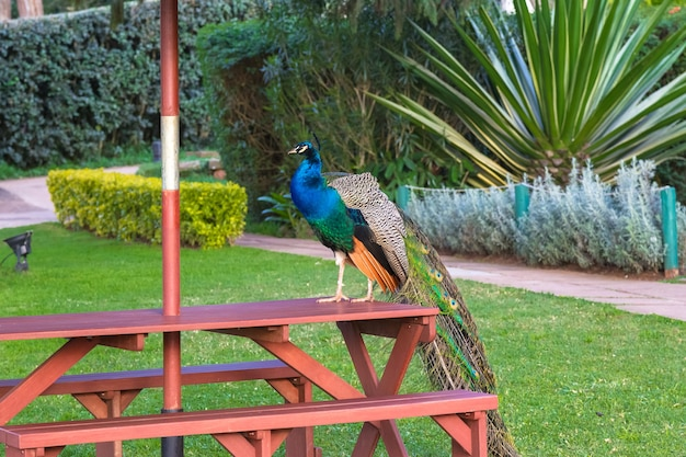 Peacock est assis sur la table aberdare kenya