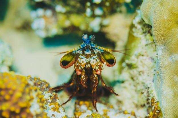 Peacock mantis crevettes