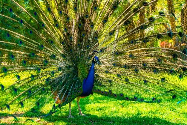 Peacock avec sa belle queue ouverte dans le parque de las naciones dans la ville de torrevieja, alicante, mer méditerranée