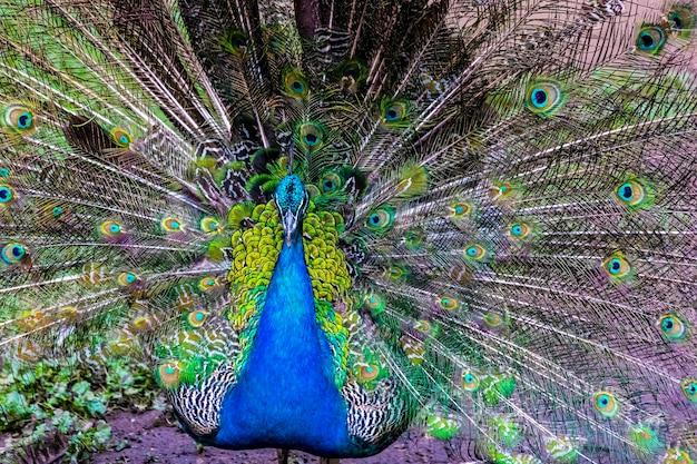 Peafowl - oiseau exotique avec une queue colorée