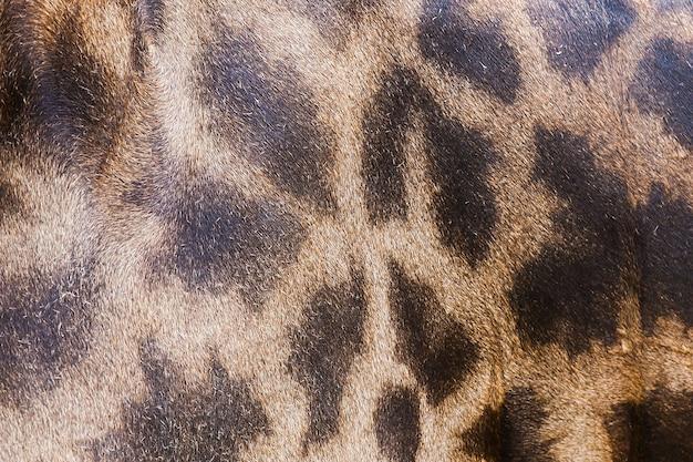 Peau de cuir véritable de girafe pour le fond et la texture