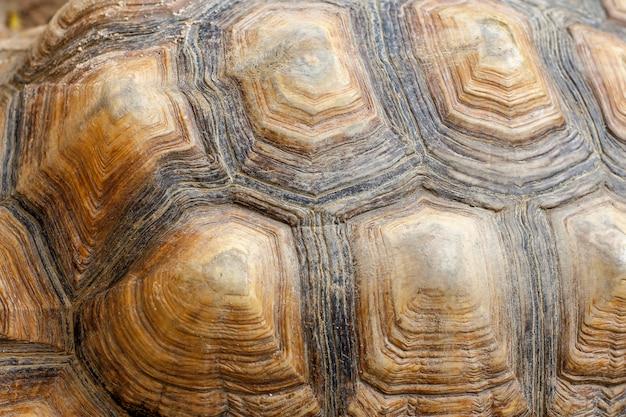 Peau de tortue sulcata