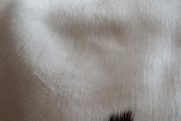 La peau d'une vache blanche avec des taches brunes. fourrure animale. fond naturel. surface duveteuse chaude.