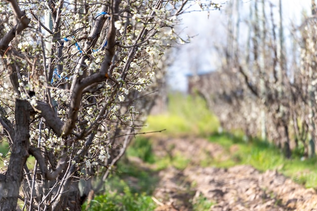 Pêche à fleurs blanches au printemps.