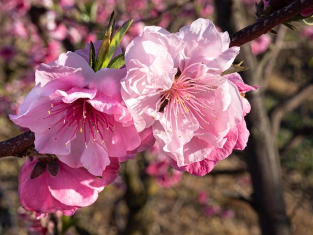 Pêchers en fleurs au printemps