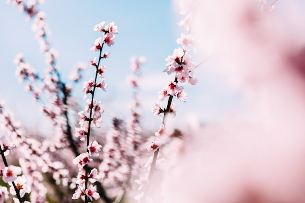 Pêchers en fleurs