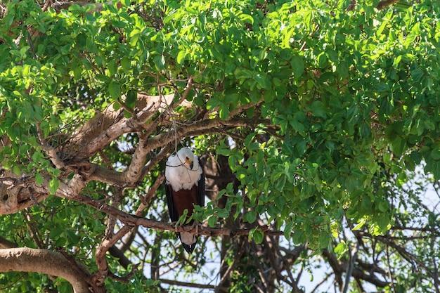 Pêcheur d'aigle sur la rive de la rivière grumeti, serengeti