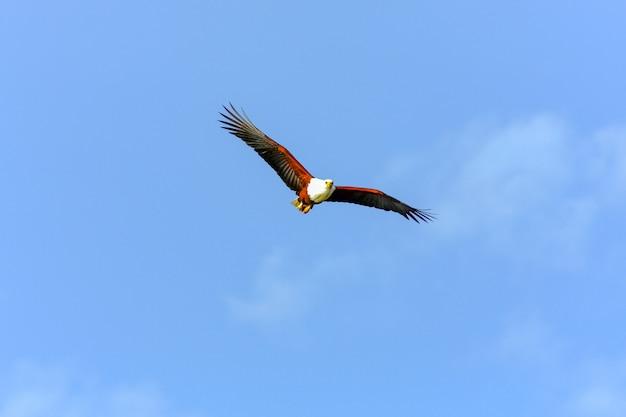 Pêcheur d'aigle volant au-dessus du lac naivasha. kenya, afrique (rev.2)