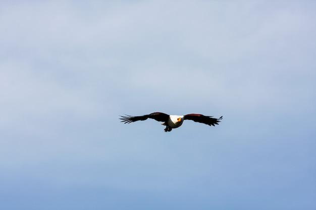 Pêcheur d'aigle volant au-dessus du lac naivasha. kenya, afrique