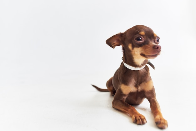 Pedigree chien chihuahua posant fond isolé