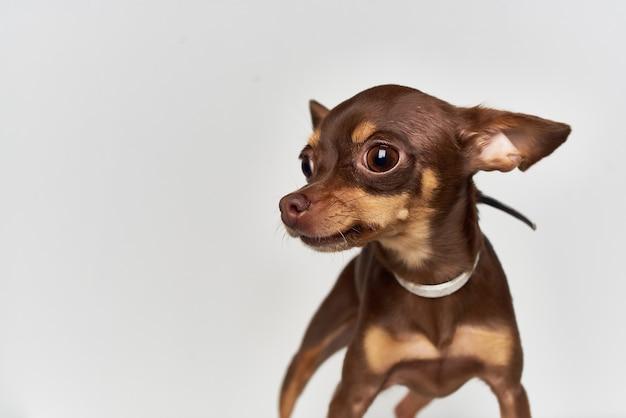 Pedigree chien pet chiot toilettage fond clair