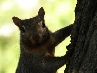 Peek-a-boo, l'écureuil
