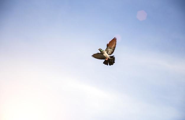 Pegion volant sur ciel clair