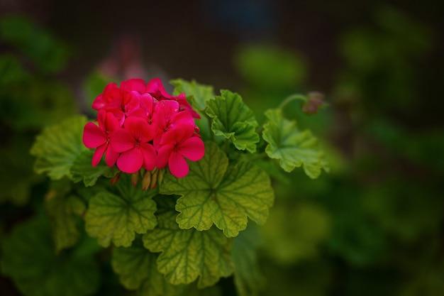 Pélargonium rouge dans le jardin. fleurs de géranium rouge dans le jardin d'été à chypre. pélargonium brillant