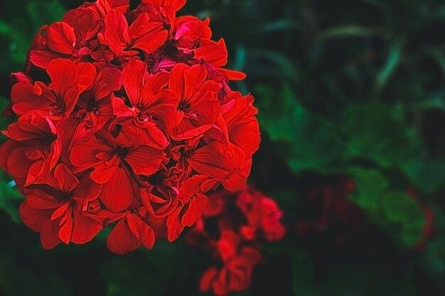 Pélargonium rouge dans le jardin fleurs de géranium rouge dans le jardin d'été pélargonium lumineux