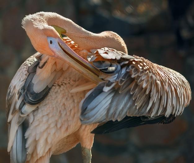 Pélican au zoo