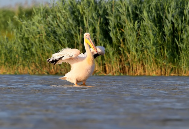 Un pélican blanc aux ailes ouvertes sèche les plumes au vent