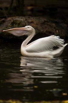 Pélican blanc mangeant un poisson dans l'eau