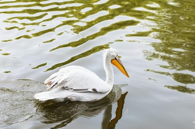 Pélican blanc nageant dans l'eau, gros plan