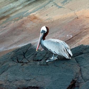Pélican brun (pelecanus occidentalis), tagus cove, île isabela, îles galapagos, équateur