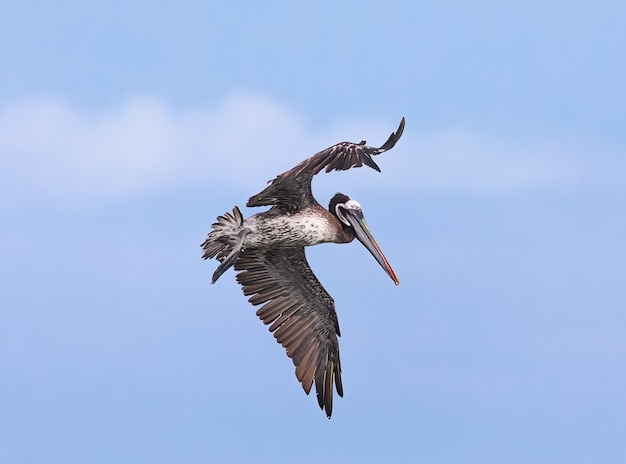 Pélican brun en vols lima pérou