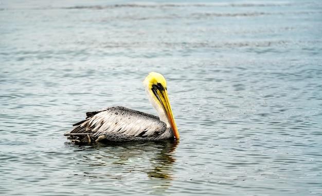 Pelican dans l'océan pacifique à paracas au pérou