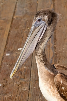 Pelican à la jetée dans la baie de san francisco