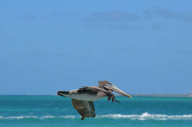 Pélican à plumes brunes volant dans le ciel bleu d'aruba
