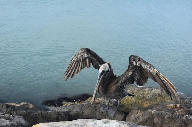 Pélican séchant et aérant ses ailes au soleil des caraïbes.