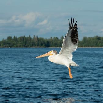 Pélican survolant un lac, lac des bois, ontario, canada